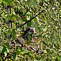 Iguana Hiding In The Bushes by Aimee L Maher ALM GALLERY