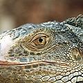Iguana (iguana Iguana) by Bjorn Svensson
