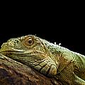 Iguana by Jane Rix