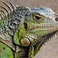 Iguana Profile by Natural Selection Chris Pinchbeck