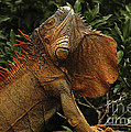 Iguana Costa Rica by Bob Christopher