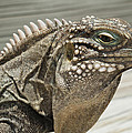 Iguana Two by Stephen Anderson