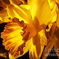 Illuminated Daffodil Photograph by Kristen Fox