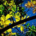 Illuminated Elm Leaves by Aaron Burrows