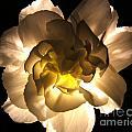 Illuminated White Carnation Photograph by Kristen Fox