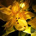 Illuminated Yellow Alstromeria Photograph by Kristen Fox