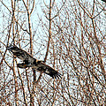 Immature Bald Eagle Flying by Crystal Heitzman Renskers