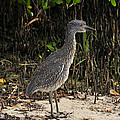 Immature Blacked Crowned Night Heron by David Lee Thompson
