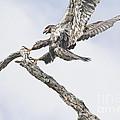 Immature Eagle At Play by Deborah Benoit