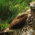 Immature Red Sholdered Hawk by Earl Williams Jr