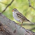 Immature White-crowned Sparrow  by Saija  Lehtonen