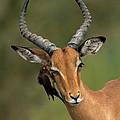 Impala Aepyceros Melampus Buck Africa by Rob Reijnen