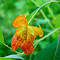 Impatiens Capensis - Orange Spotted Jewelweed by Mother Nature