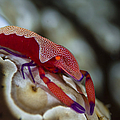 Imperator Commensal Shrimp On Eyed Sea by Todd Winner