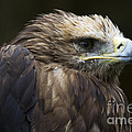 Imperial Eagle 4 by Heiko Koehrer-Wagner