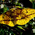 Imperial Moth Din053 by Gerry Gantt