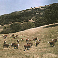 In A Pasture Near Pleasanton Hereford by Charles Martin