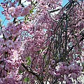 In Bloom by Cynthia Amaral