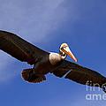 In Flight Pelican by Susanne Van Hulst