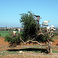 In Morocco Goats Grow On Trees by Miki De Goodaboom