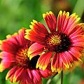 Indian Blanket by Bill Dodsworth