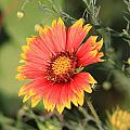 Indian Blanket Flower by Andrew Dyer Photography