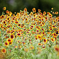 Indian Blankets by Jama Pantel