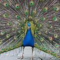 Indian Peacock by Denise Swanson