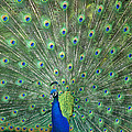 Indian Peafowl Pavo Cristatus Male by San Diego Zoo