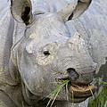 Indian Rhinoceros Grazing Kaziranga by Suzi Eszterhas