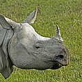 Indian Rhinoceros by Tony Camacho