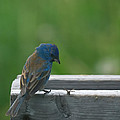 Indigo Bunting And Friend by Susan Capuano