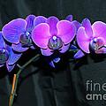 Indigo Mystique Orchids  by Donna Brown