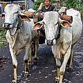 Indonesian Bovine Cart by Mark Sellers