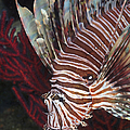 Indonesian Lionfish On A Wreck Site by Karen Doody