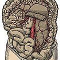 Inferior Mesenteric Artery And The Aorta by Science Source