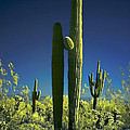Infrared Saguaro 1 by Jim Painter