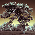 Infrared Tree by Andy Linden