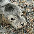 Injured Harbor Seal by Ted Kinsman