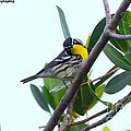 Inquisitive Yellow Throated Warbler by Barbara Bowen