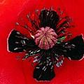 Inside A Poppy by Rhonda Barrett