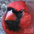 Intense Cardinal by Theresa Willingham