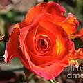 Intense Rose by Susan Herber