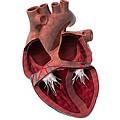 Internal Heart Anatomy, Artwork by Claus Lunau