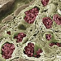 Intestinal Blood Vessels, Sem by Steve Gschmeissner