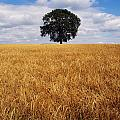 Ireland, Barley Field With Oak Tree by The Irish Image Collection