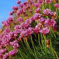Ireland Close-up Of Seapink Wildflowers by Gareth McCormack
