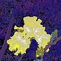 Iris 36 by Pamela Cooper