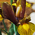 Iris After The Rain by Christopher Gaston