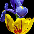 Iris And Tulip by Garry Gay